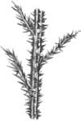 black and white graphic of thistle with spiny wings