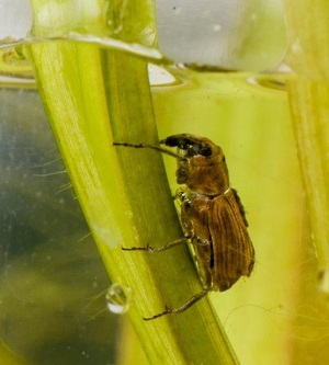 Bagous nodulosus weevil feeding underwater on flowering rush stem