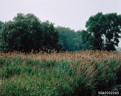 infestation of phragmites, tall grass with large plume-like inflorescences