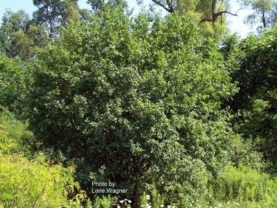 shrub to tree like plant with green leaves