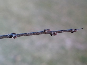 thorn-tipped twig