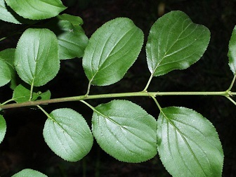 glossy, dark green leaves with veins