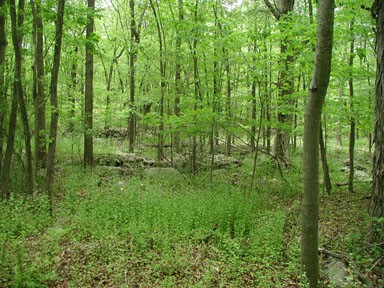 infestation of garlic mustard in understory of forest