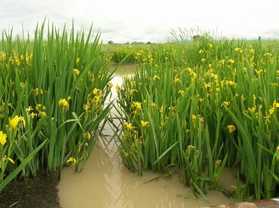plants with yellow flowers growing in shallow water