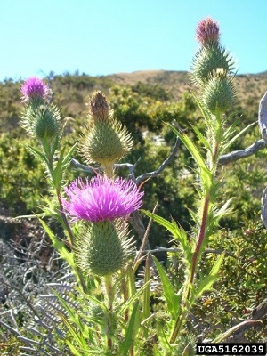bull thistle with purple/pink flower