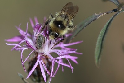 bumble bee on top of purple spotted knapweed flower