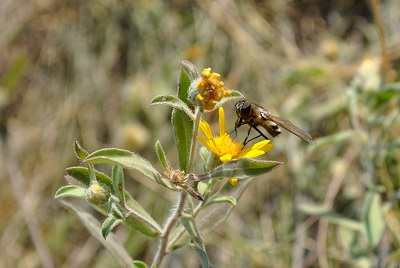 native pollinator visiting yellow hairy goldenaster flower