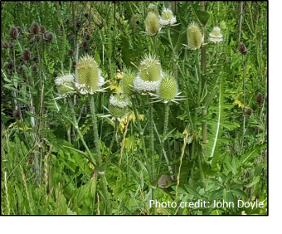 Image of thistle