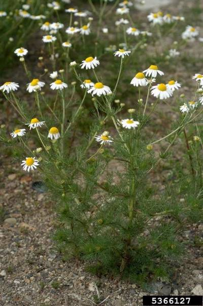 A general image of scentless chamomile