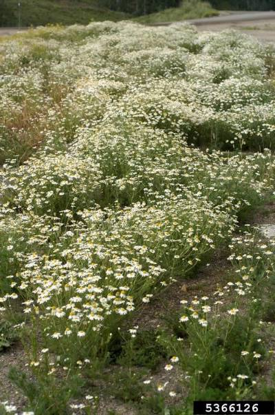 Field of scentless chamomile