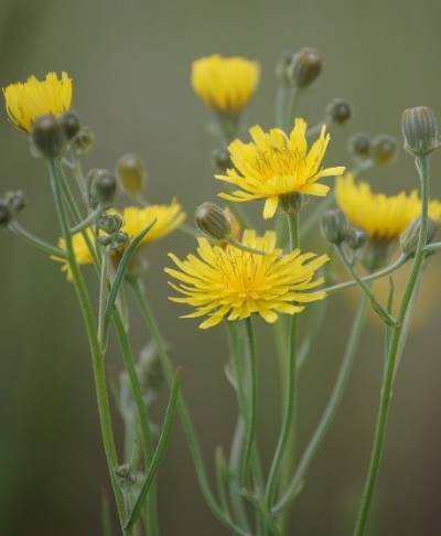 Image of the yellow flowers of the narrowleaf hawksbeard