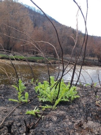 Green, leafy common tansy sprouting from bare, burned soil. Photo by Lindsey Bona.