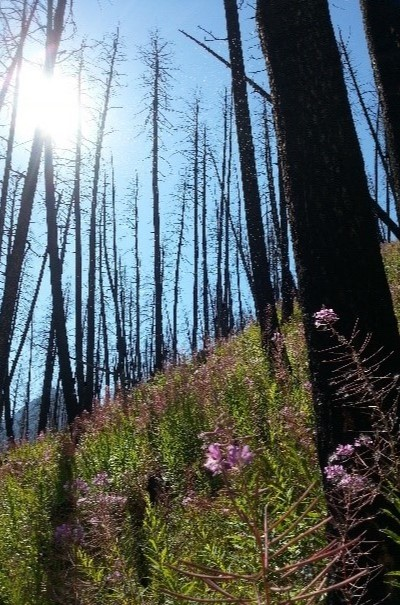 Picture of burned trees with pink flowered fireweed growing beneath the trees. Photo by Mike Simanonok.
