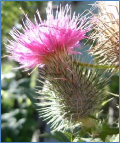 Outdoor photo of a Bull thistle flower