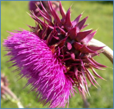 Outdoor photo of a Musk thistle flower
