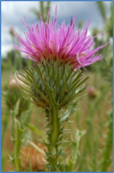 Outdoor photo of a Plumeless thistle flower