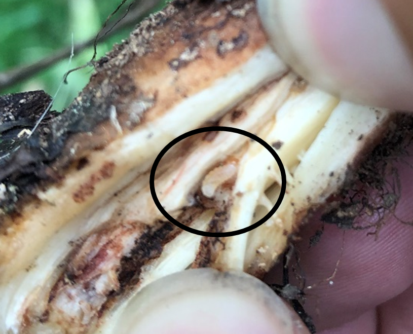 Thumb and finger pulling about root with small, white larva in middle of root.