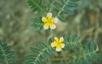Two, five petaled, light yellow flowers with green pinnately compound leaves behind the flowers.
