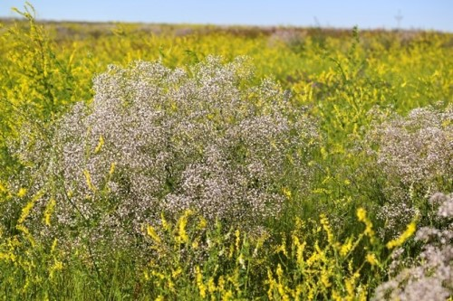 White-flowered baby's breath in hay field with yellow and green vegetation around it.