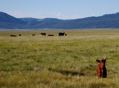 cattle grazing on rangeland in Montana with calf in foreground