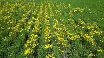 crop field with rows of crop growing with yellow flowered weed growing in between