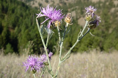 several spotted knapweed flowers and buds with trees in the background